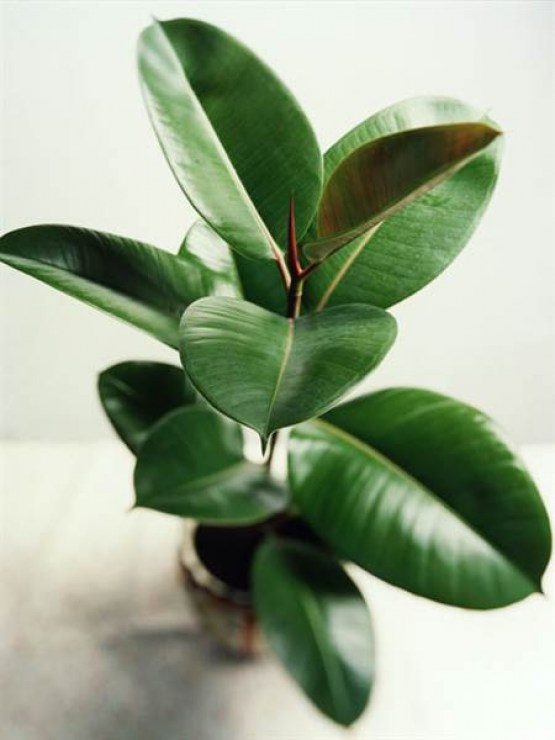 rubber_tree - indoor