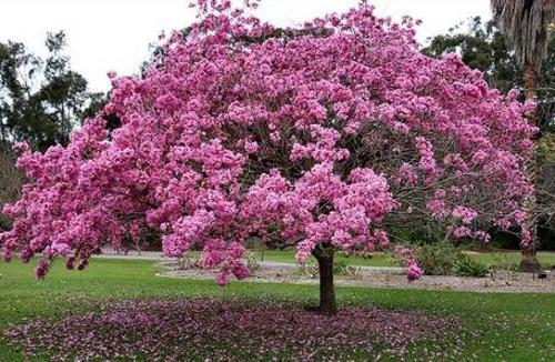 Tabebuia - Purple.jpg_product