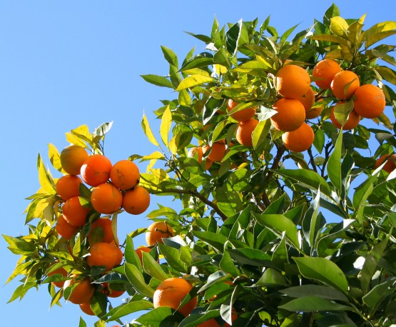 Berry Orange-Tree