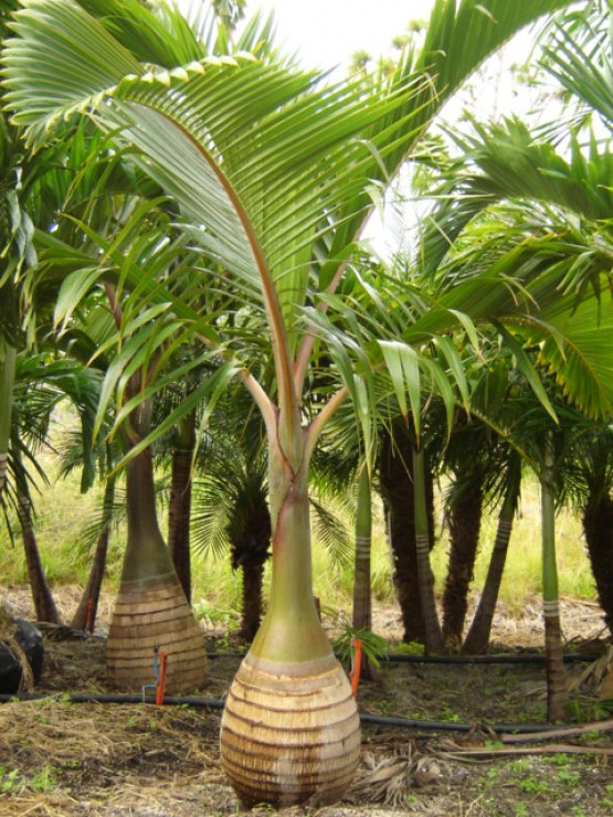 Bottle Palm 1
