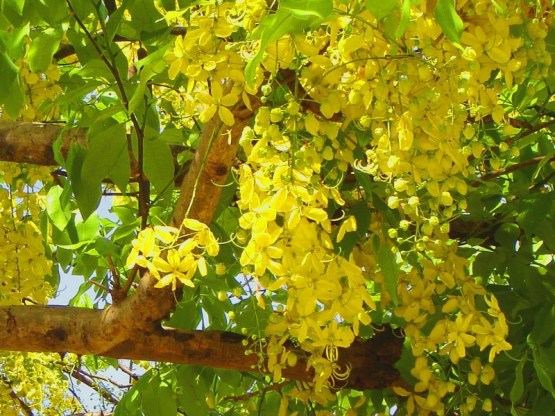 Cassia Golden Shower Tree
