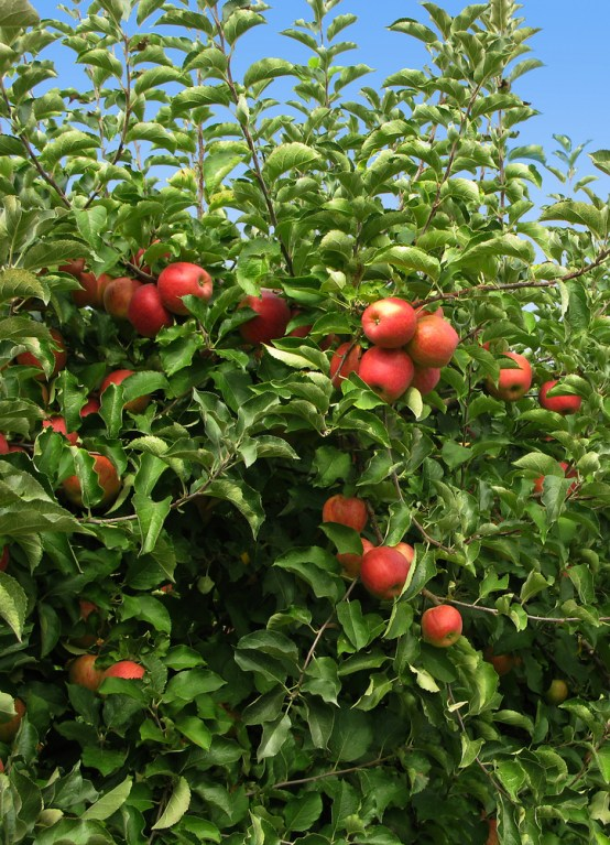 Fuji Apple Tree 1