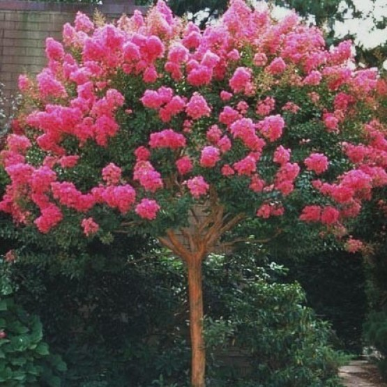 Lagerstroemia - Pink