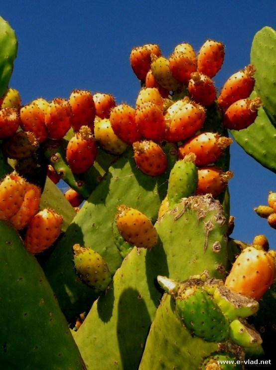 Orange Cactus Pear Plant
