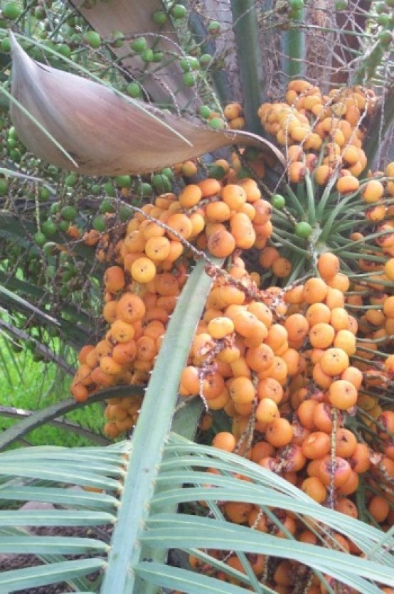 Pindo fruit clusters