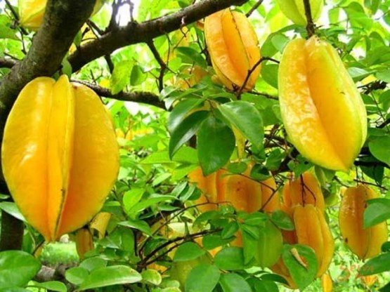Star-Fruit-on-Tree