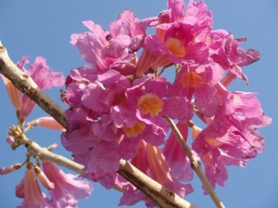 Tabebuia - Purple