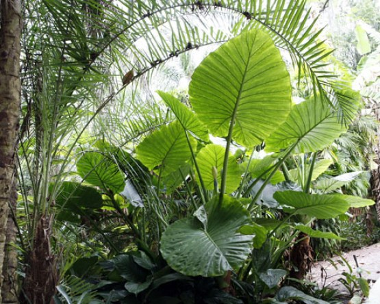 Tropical Shrubs - Elephant Ear 2