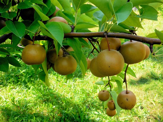 asian-pear-tree