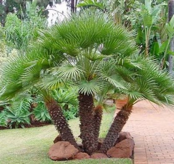 european_fan_palm 3
