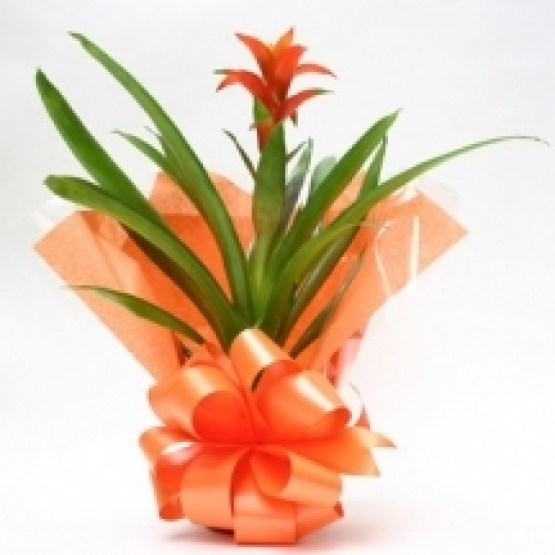 orange-guzmania-tropical-indoor-plant