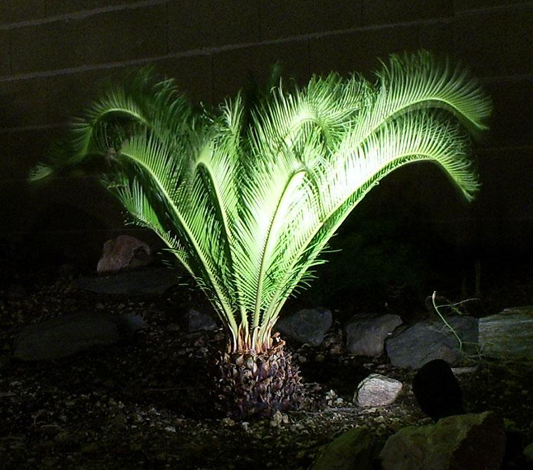 Tropical Palms: Sago Palm